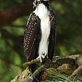Osprey by Gordon  Allen