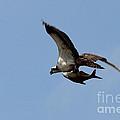 Osprey Grabs Lunch by Jemmy Archer