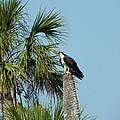 Osprey Heaven by Cynthia N Couch