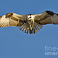 Osprey Hovering by Jerry Fornarotto