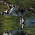 Osprey Hunter by Kenneth Haley