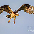 Osprey In Flight by Jerry Fornarotto