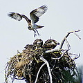 Osprey In Flight Over Nest by Ben Upham III
