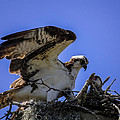 Osprey In The Nest by Zina Stromberg