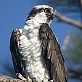 Osprey by John Greco