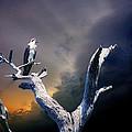 Osprey by Mal Bray