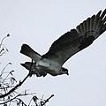 Osprey by Marcia Crispino