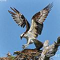 Osprey Mating by Barbara Bowen