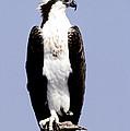 Osprey by Millard H. Sharp