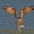 Osprey Morning Catch by Susan Candelario