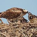 Osprey Nest by Doug McPherson