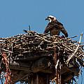 Osprey Nest by John Daly
