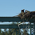 Osprey Nest With Mom And Chicks by Mick Anderson