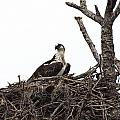 Osprey On A Nest In The Everglades by Randall Nyhof