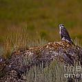 Osprey On A Rock   #7626 by J L Woody Wooden