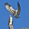 Osprey Pair Love In The Air by Leslie Reagan -  Joy To The Wild Photos