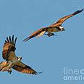 Osprey Pair by Timothy Flanigan