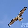 Osprey Pandion Haliaetus In Flight by Liz Leyden