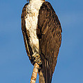 Osprey Perched In Yellowstone National Park by Martin Belan