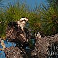 Osprey Preen 1 by Photos By  Cassandra