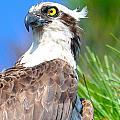 Osprey Profile by MCM Photography