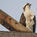 Osprey -seahawk by Dale Powell