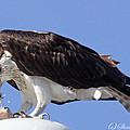 Osprey by Sharon Fiedler