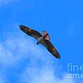 Osprey Soars by Kyle Neugebauer