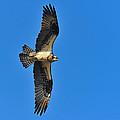 Osprey by Tony Beck