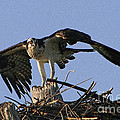 Osprey Warning by Richard Gripp