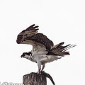 Osprey Wit A Trout by Brian Williamson