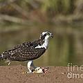 Osprey With Breakfast by Bryan Keil