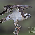 Osprey With Fish by Anthony Mercieca