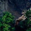 Osprey With Fish by Ernie Echols