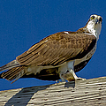Osprey With Fish In Talons by Dale Powell