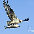 Osprey With Mullet by Anthony Mercieca