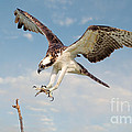 Osprey With Talons Extended by Jerry Fornarotto