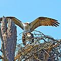 Ospreys Copulating In New Nest2 by Jeff at JSJ Photography