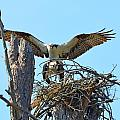 Ospreys Copulating In New Nest3 by Jeff at JSJ Photography