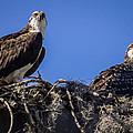 Ospreys In The Nest by Zina Stromberg
