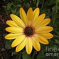 Osteospermum Orange Daisy by Val Carosella
