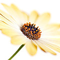 Osteospermum Sunny Flower I by Natalie Kinnear