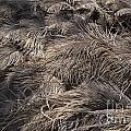 Ostrich Feathers  by Douglas Barnard