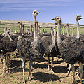 Ostrich Females South Africa by Gerry Ellis