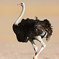 Ostrich by Johan Swanepoel