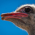 Ostrich Profile by Jean Noren