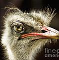 Ostrich Struthio Camelus by Daliana Pacuraru