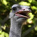 Ostrich by Zoran Berdjan