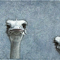 Ostriches by James W Johnson