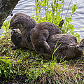 Otter Family Fun by Elaine Haberland